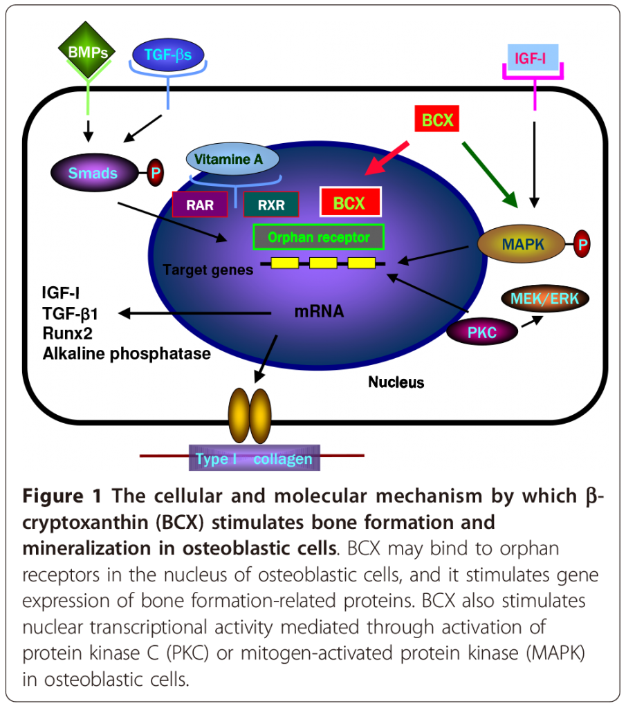 Figure 1- Role of Carotenoid β-Cryptoxanthin in bone homeostasis
