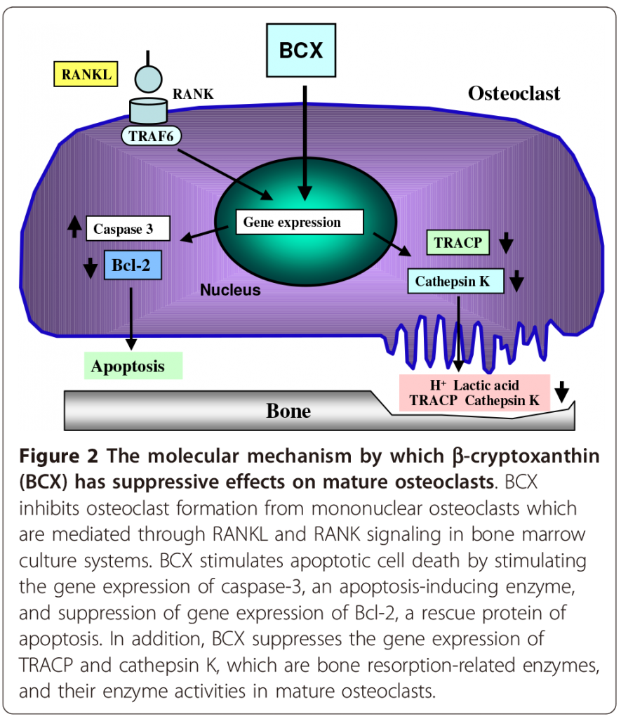 Figure 2- Role of Carotenoid β-Cryptoxanthin in bone homeostasis